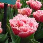 Мелкий опт Тюльпаны, Гиацинты, Нарциссы, Амариллисы и Лилии