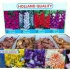 Holland Bulb Market в сезоне осень 2014