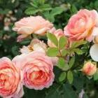О розах Дэвида Остина