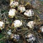 Что надо знать при оформлении заказа на луковицы лилий