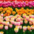 Как выбрать нужный сорт тюльпанов