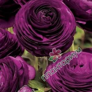 Ранункулюс asiaticus Tomer фиолетовый
