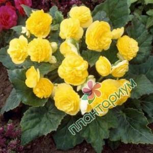 Бегония Multiflora Maxima Желтая