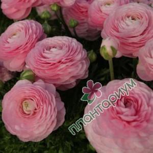 Ранункулюс asiaticus Tomer розовый