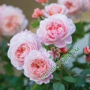 Роза A Shropshire Lad