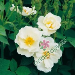 Роза Alba Semi-Plena