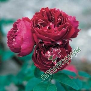 Роза Baron Girod De LAin