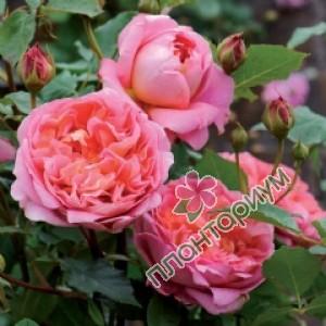 Роза Boscobel