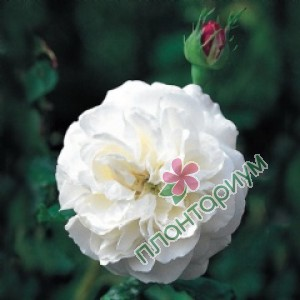 Роза Boule De Neige