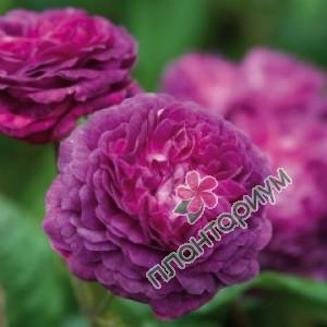 Роза Cardinal De Richelieu