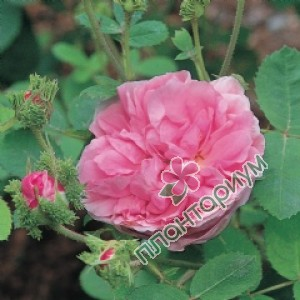 Роза Chapeau De Napoleon