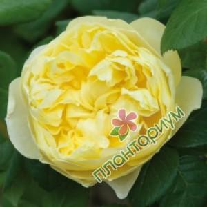 Роза Charles Darwin