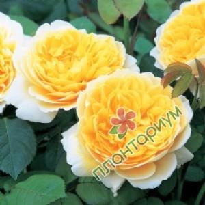 Роза Charlotte