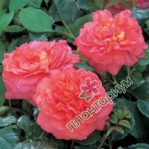 Роза Christopher Marlowe