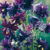Аквилегия Purple