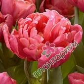 Тюльпан Adore