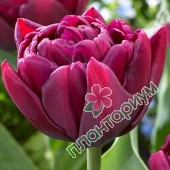 Тюльпан Alison Bradley
