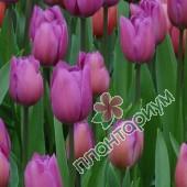 Тюльпан Amedea
