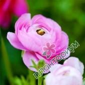Ранункулюс Aviv Picotee roze
