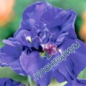 Ирис Blue Pompon