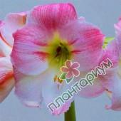 Амариллис Cherry Blossom