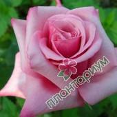 Роза Christina