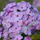 Флокс David'S Lavender