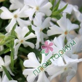 Флокс Early Spring White