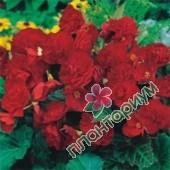 Бегония Multiflora Maxima Темно-Красная