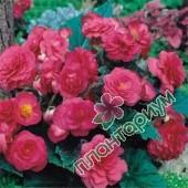 Бегония Multiflora Maxima Розовая