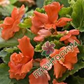 Бегония Multiflora Maxima Лососевая