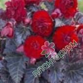 Бегония Multiflora Maxima Красная