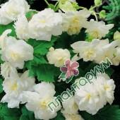 Бегония Multiflora Maxima Белая