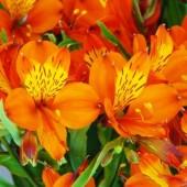 Альстромерия Orange King