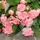 Бегония Pendula Cascade Розовая