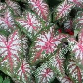Каладиум Tapestry
