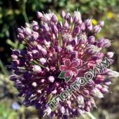 Аллиум Ampeloprasum