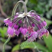 Аллиум carinatum ssp pulchellum