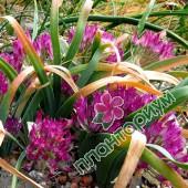 Аллиум Falcifolium