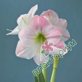 Амариллис Apple Blossom
