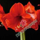 Амариллис Orange Souvereign