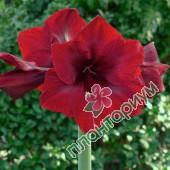 Амариллис Royal Velvet