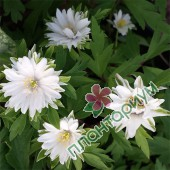 Анемоны Bracteata Pleniflora