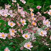 Анемоны Robustissima