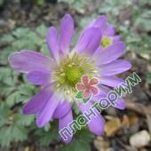Анемоны Violet Star
