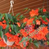 Бегония Pendula Cascade Оранжевая