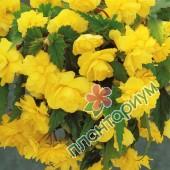 Бегония Pendula Cascade Желтая