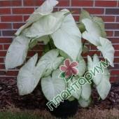 Каладиум Garden White