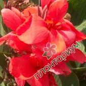 Канна Crimson Beauty