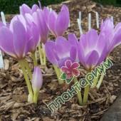 Безвременник Lilac Bedder